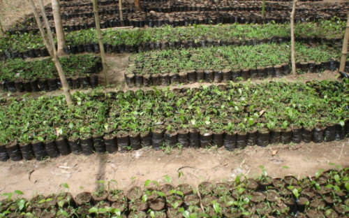 Tree nurseries of Naturefriends in Togo